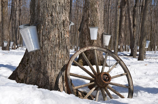 Tin buckets hang from maple trees in the snow. An old wagon wheel rests against one tree.